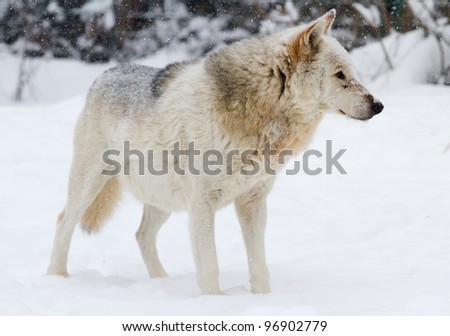 White wolf standing in the snow