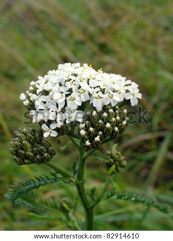 White Yarrow (Achillea Millefolium ) plant - stock photo