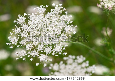 White yarrow (milfoil) flower - stock photo