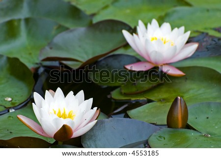 White yellow exotic waterlilies blooming in pond - stock photo