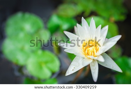 White Yellow Lotus flower and Lotus flower plants , water - stock photo
