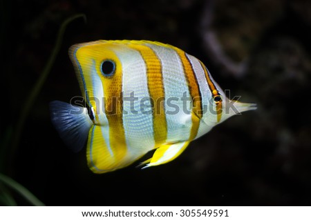 White yellow triangle Butterfly reef fish