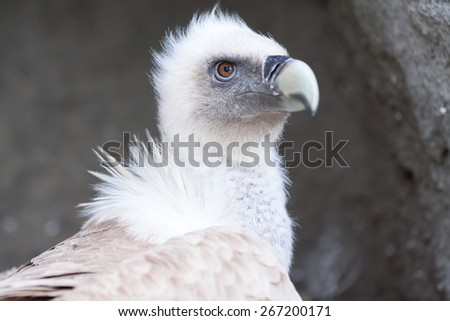 White young baby vulture lying on rock - stock photo