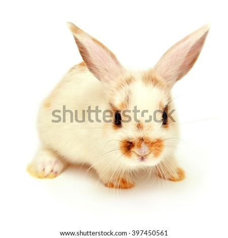 White young lop-eared rabbit isolated on white background - stock photo