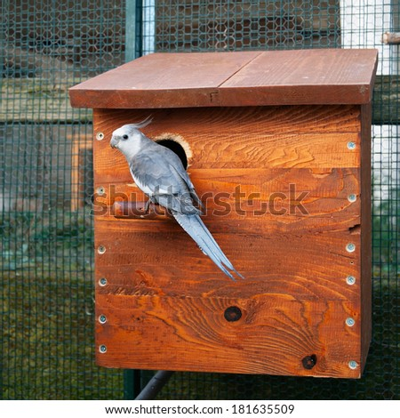 whiteface cockatiel male at the entrance of nest box - stock photo
