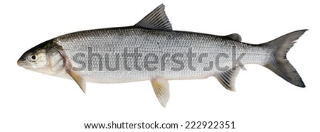 Whitefish ( Coregonus lavaretus ). Siberian subspecies. Adult female. Isolated on white