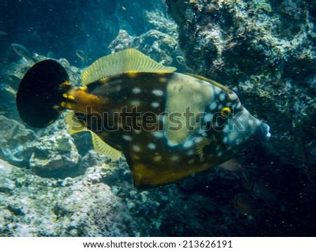 whitespotted filefish - stock photo