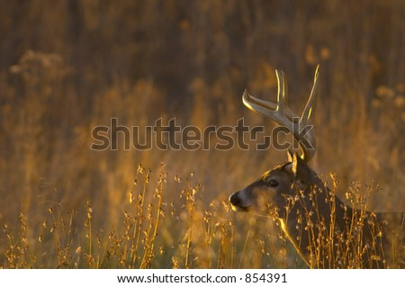 Whitetail buck at sunrise - stock photo