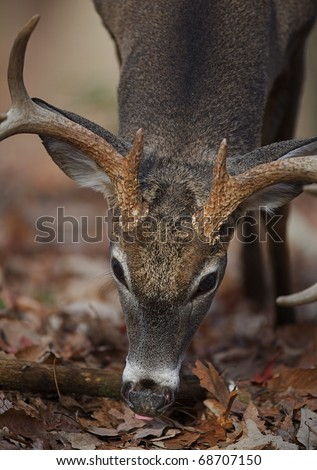 Whitetail Buck Deer feeding on acorns, Great Smoky Mountains National Park, Tennessee / North Carolina.  white tail / white-tailed / white-tail / white tailed / whitetailed / oak leaves - stock photo