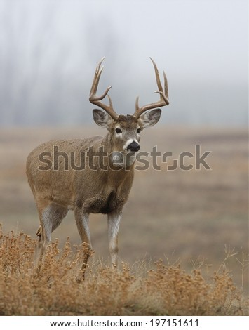 Whitetail Buck deer hunting season  - stock photo