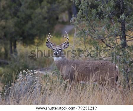 Whitetail Buck Deer in lush habitat, Rocky Mountains, Montana - stock photo