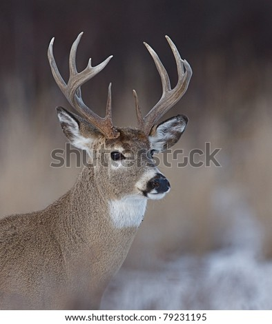 Whitetail Buck Deer in winter, Close-up portrait - stock photo