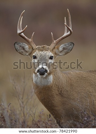 Whitetail Buck Deer Portrait - stock photo