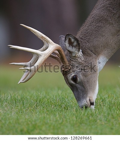 Whitetail Buck Deer Stag feeding in grass field in a park in Virginia deer hunting hunt - stock photo
