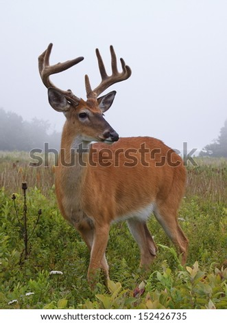 Whitetail Buck Deer Stag in field meadow with velvet antlers in summer time with fog and mist in the background at Shenandoah National Park, Appalachian Mountains, Virginia - stock photo