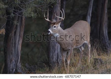 Whitetail Buck Deer standing alert at a scrape - stock photo