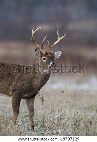 Whitetail Buck Deer standing in grassland habitat / field / meadow, Great Smoky Mountains National Park, Tennessee / North Carolina; white tail / white-tailed / white-tail / white tailed / whitetailed - stock photo