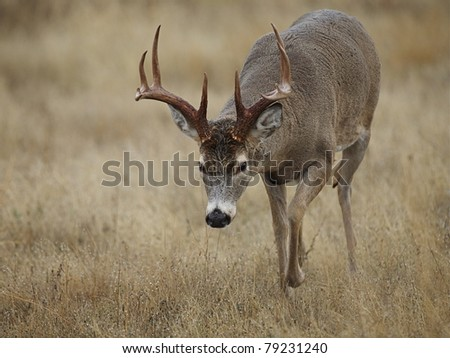 "Whitetail Buck Deer walking with head down, in ""sneak position"" - stock photo"