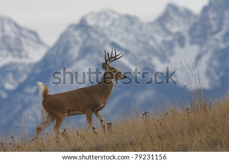 Whitetail Buck Deer walking with snow covered Rocky Mountains in background - stock photo