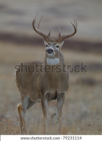 Whitetail Buck Deer with large antlers and rut-swollen neck - stock photo