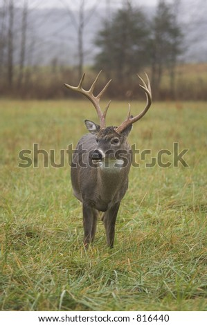 Whitetail buck eating