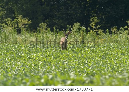 whitetail buck eating soybeans - stock photo