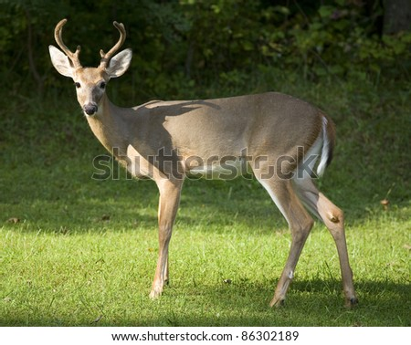 Whitetail buck in front of a dark forest with antlers in velvet - stock photo