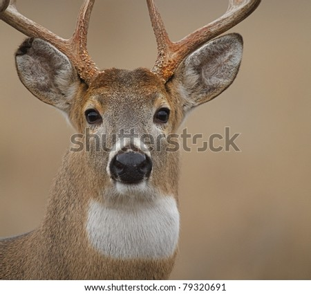 Whitetail Buck isolated close-up portrait - stock photo