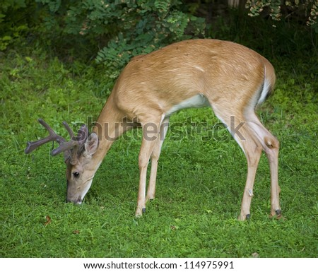 Whitetail buck near a dark forest grazing on grass in the morning - stock photo