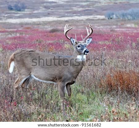 Whitetail Buck Portrait - stock photo