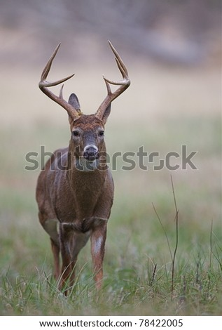 Whitetail Buck walking in grassy habitat, Great Smoky Mountains, Tennessee - stock photo