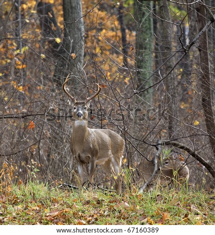 whitetail buck with antlers in a forest with a friend in tow
