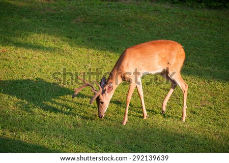 Whitetail buck with antlers in velvet sniffing something on the ground - stock photo