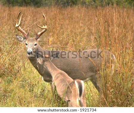 Whitetail buck with doe.