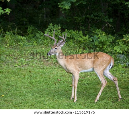 Whitetail buck with its antlers in velvet near a dark forest - stock photo