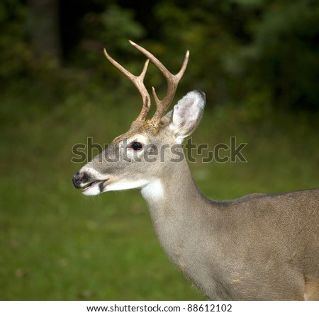 Whitetail buck with motion blur in its antlers but eyes tack sharp