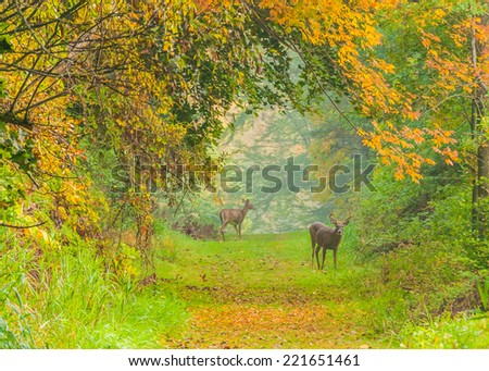 Whitetail Deer Buck and doe standing in a woods trail in autumn color. - stock photo
