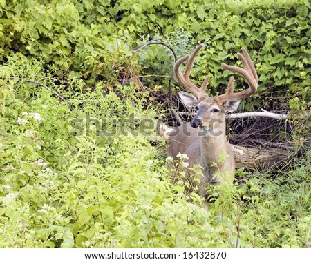 Whitetail deer buck in late summer velvet. - stock photo