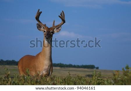 Whitetail Deer Buck in Summertime Meadow - stock photo