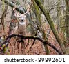 Whitetail Deer Buck standing in a thicket in the rain. - stock photo