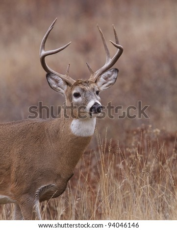 "Whitetail Deer Buck Vertical Portrait ""Bust"" - stock photo"