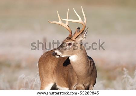 Whitetail deer buck walking through frosty field - stock photo