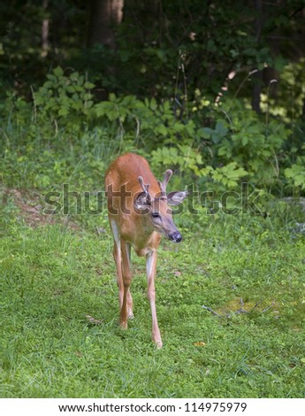 Whitetail deer buck with antlers in velvet leaving a dark forest - stock photo