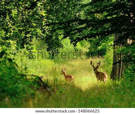 Whitetail Deer Bucks in summer velvet standing in an opening in the woods. - stock photo