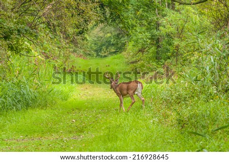 Whitetail Deer Button Buck moving along a nature trail. - stock photo