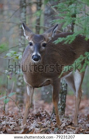 Whitetail Deer, doe in woodlands at Cades Cove, in the Great Smoky Mountains national Park, Tennessee - stock photo
