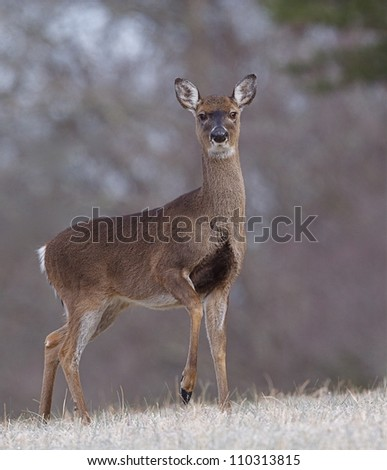 Whitetail Deer Doe standing in frosty meadow with raised front foot, Great Smoky Mountains National Park, Tennessee / North Carolina; white tail, white tailed, white-tail, white-tailed, whitetailed - stock photo