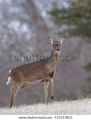 Whitetail Deer Doe walking through a frosty meadow,Great Smoky Mountains National Park, Tennessee / North Carolina; white tail, white tailed, white-tail, white-tailed, whitetailed - stock photo