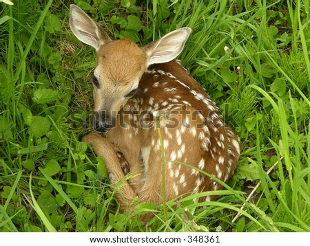 Whitetail deer fawn bedded in a field. - stock photo