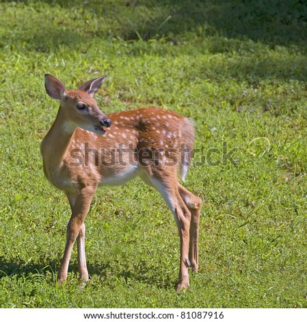 whitetail deer fawn in a bright and green field - stock photo